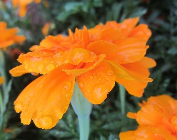 dewey marigold