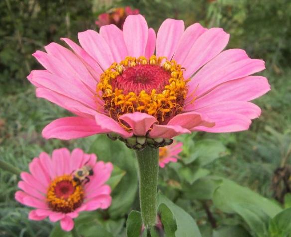 pink zinnias w bee