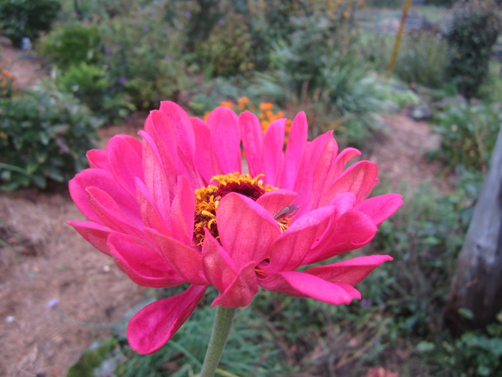 so pink zinnia