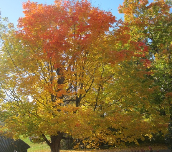 front yard maple