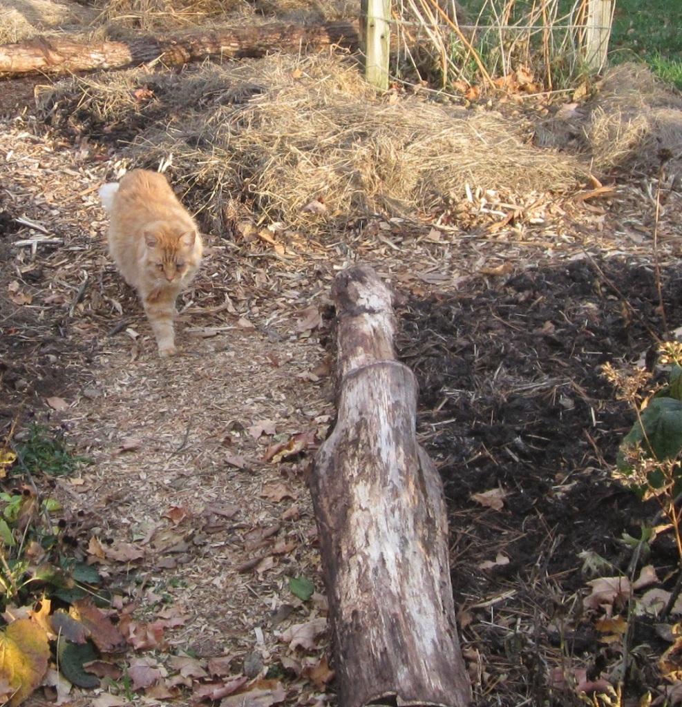 Mr. Fluff enjoys the woodchip path