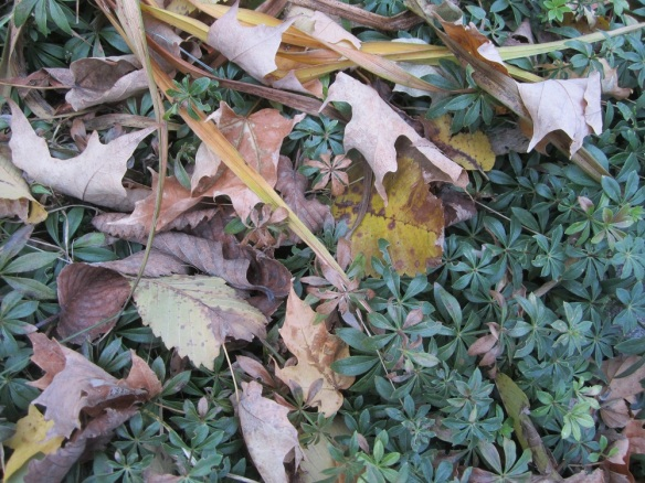 sweet woodruff foliage and autumn leaves
