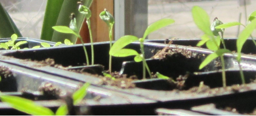baby peppers