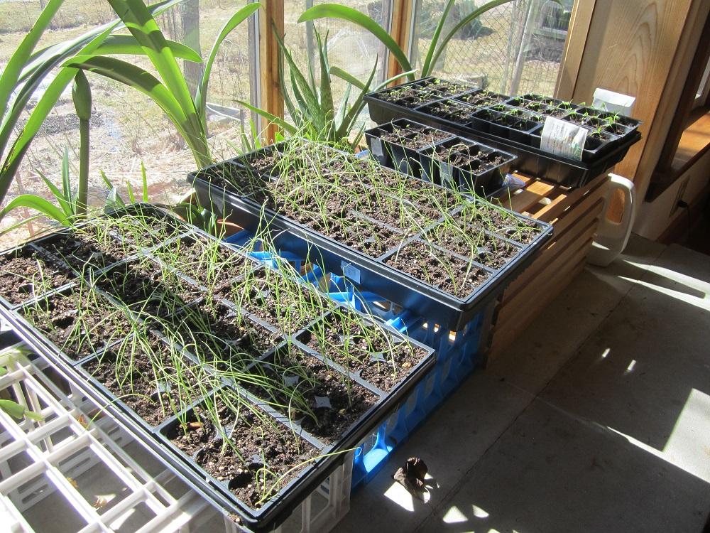 onion seedlings March 12