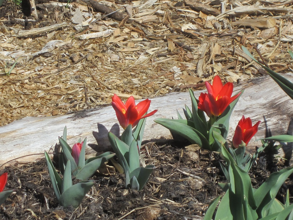 scarlet baby tulips