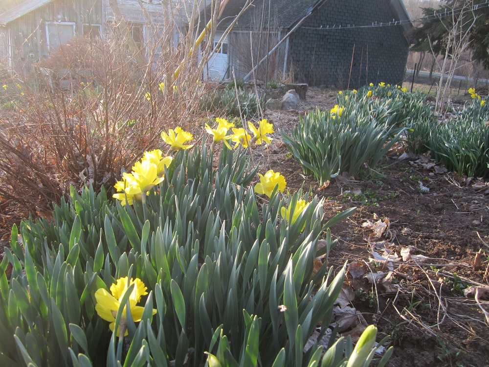 daffodils first wave