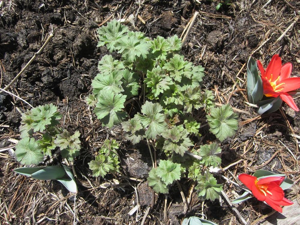 delphinium sprouting
