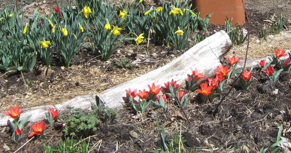 red tulips w daffodils