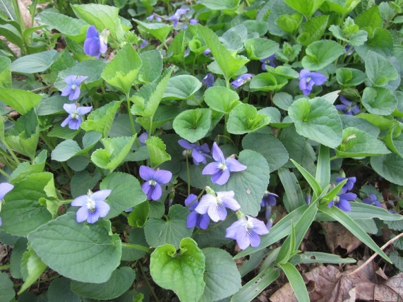 common violet, a hardy and early bloomer. I recently learned it's a favorite of butterflies.