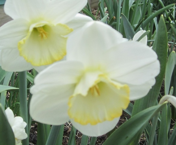daff yellow edge