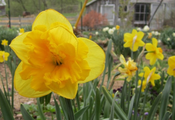 a late split-cup two-toned yellow daffodil