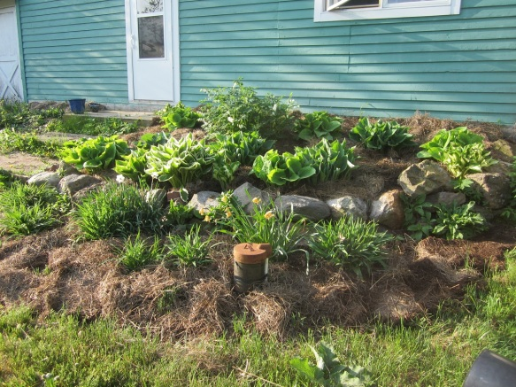 happy mulched hosta bed