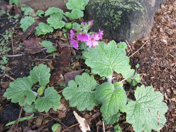 wild woodland primrose from Downerville State Forest down the road