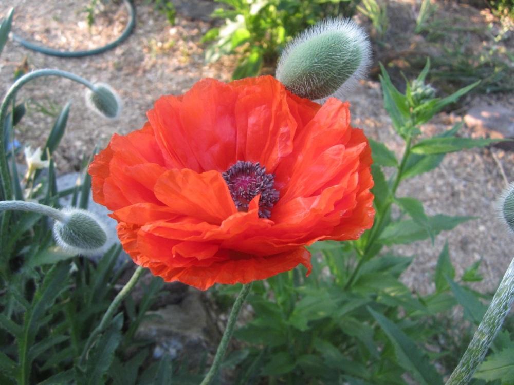 May 23 first orange poppy opened