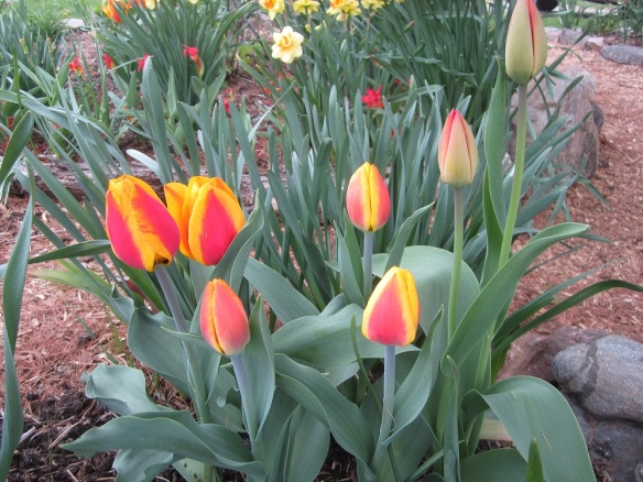 a nice patch of tulips just starting to open