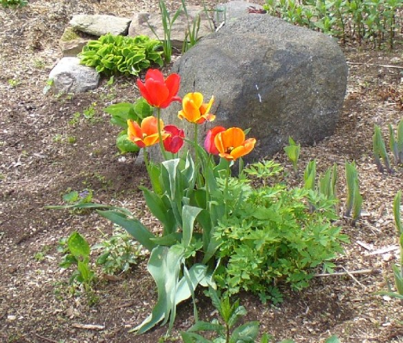 front yard tulips on  Mother's Day 2012