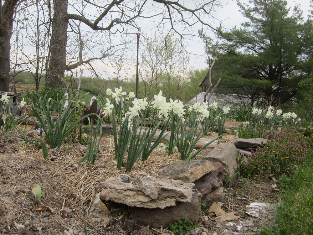 white thalia are blooming in the white garden now