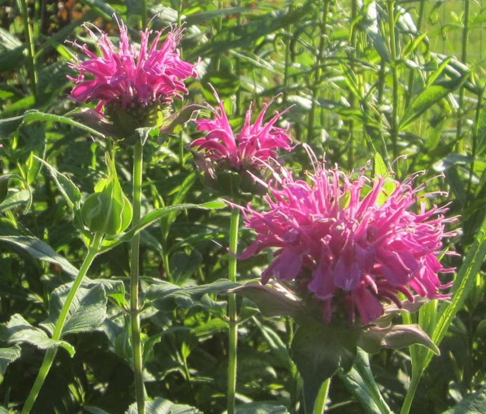 bee balm light purple