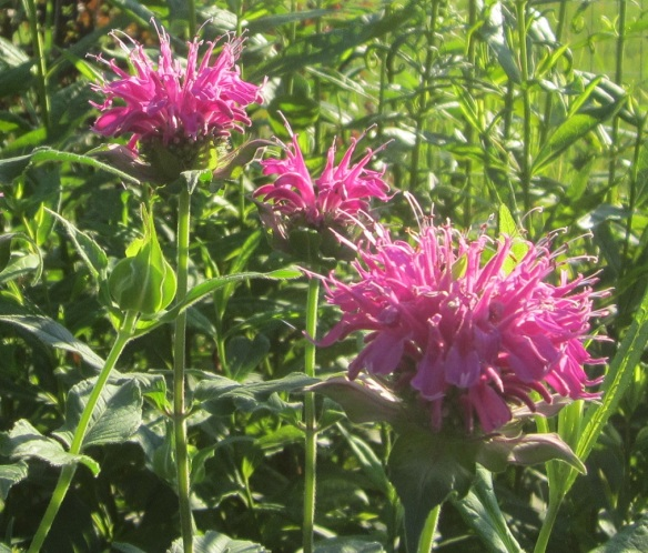 bee balm light purple