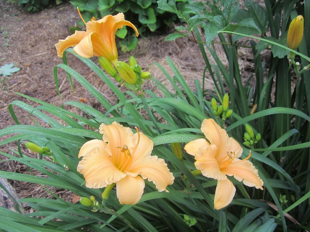 daylily apricot sparkles group