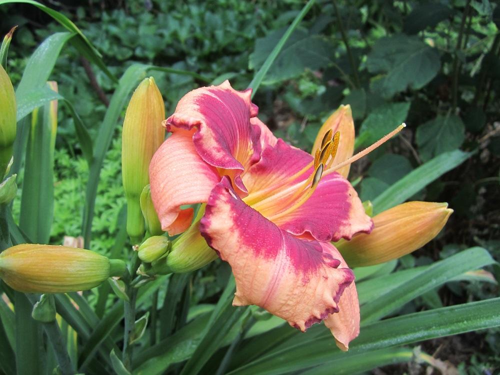 daylily blushing summer valentine