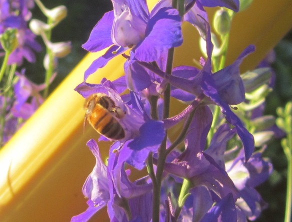 honeybee on larkspur