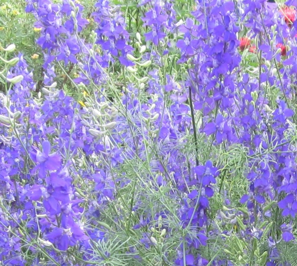 larkspur clump