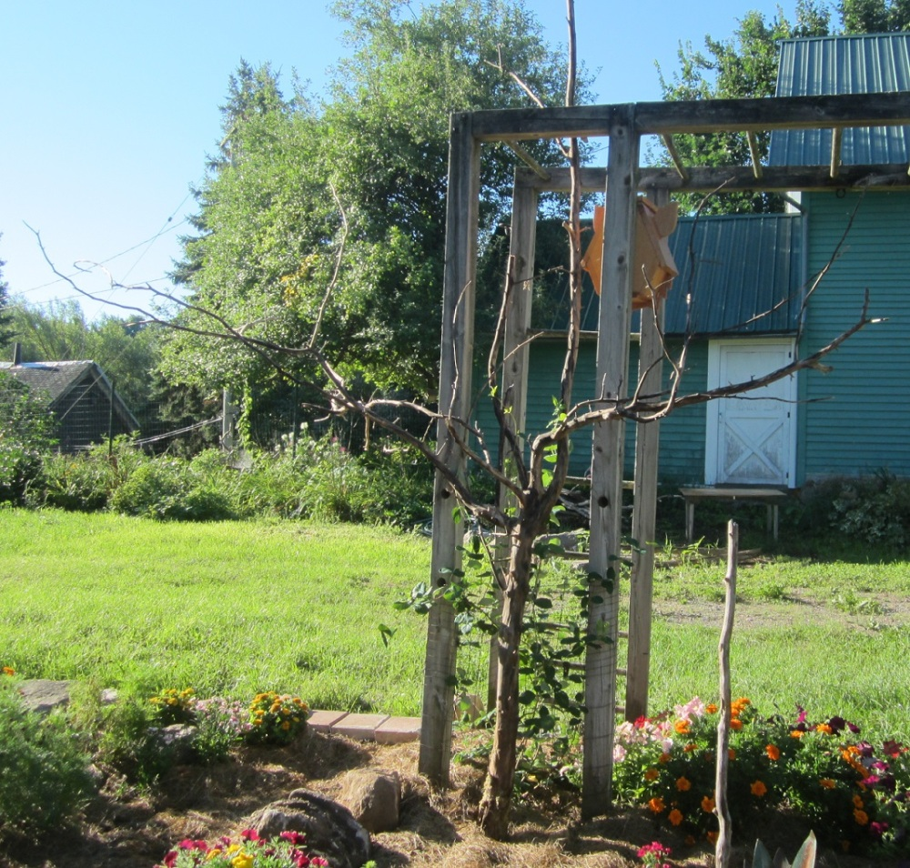 apple branch trellis w honeysuckle