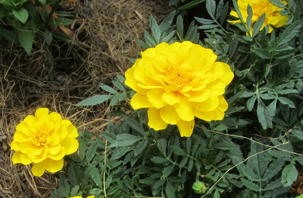 bright marigold