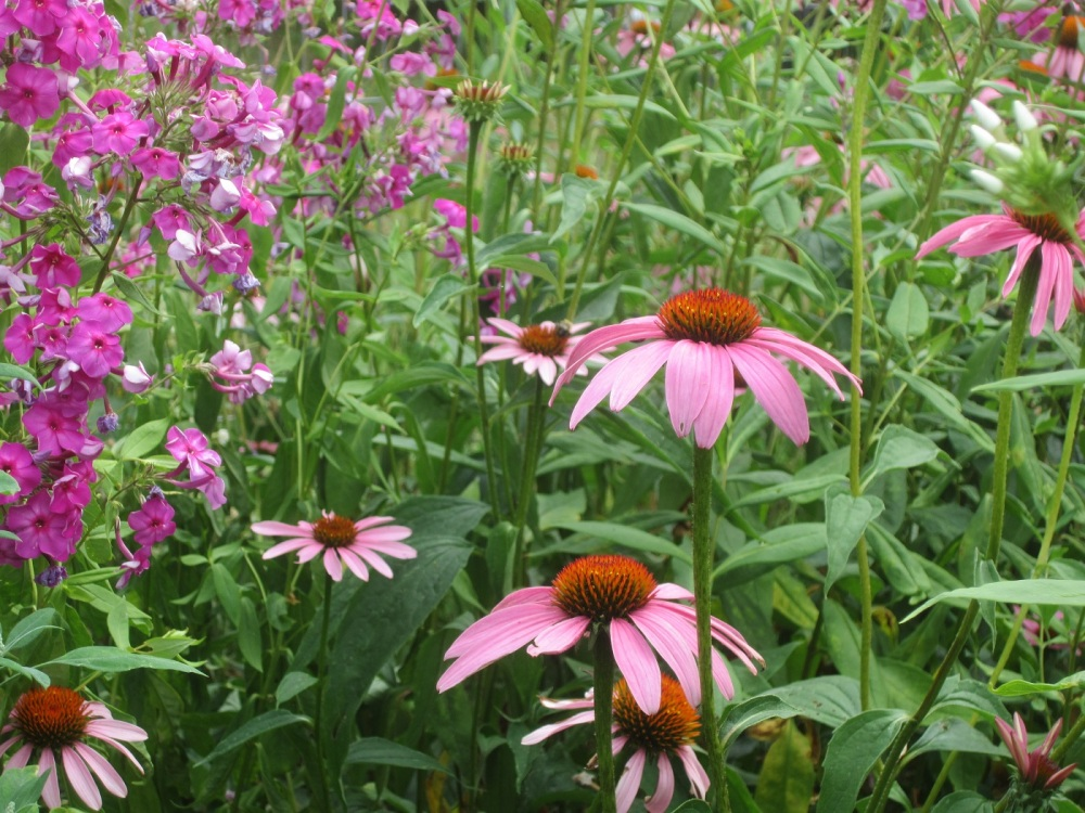 you can always count on coneflower to stand the heat and dry weather