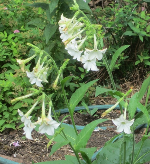 volunteer nicotiana