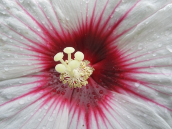 white red hibiscus heart
