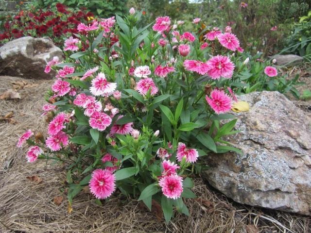 cute little annual dianthus