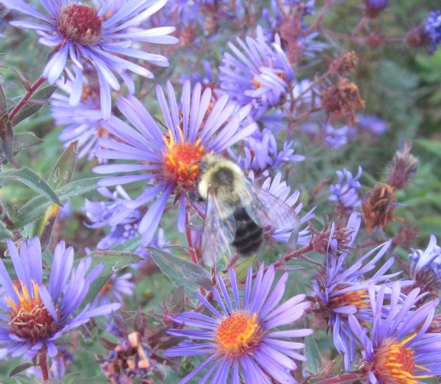 purple aster with bumble bee