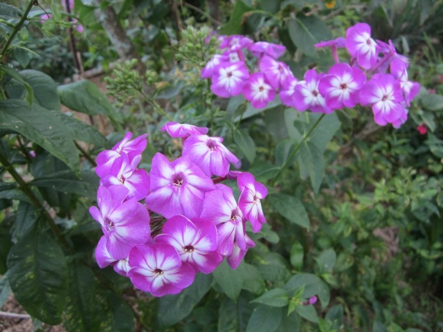 many types of phlox are still blooming