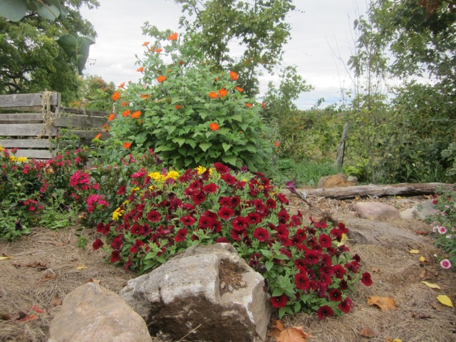 a lovely dark red petunia and a few hastily placed rocks.
