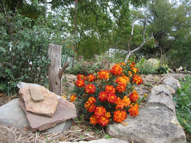 marigold with rocks and sticks