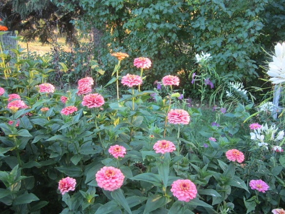 patch of pink zinnias