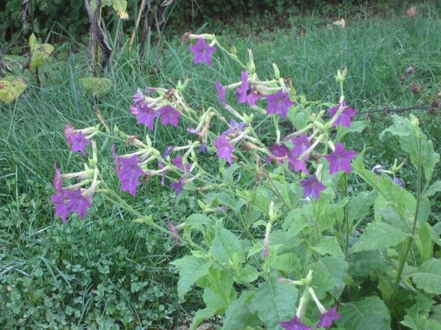 volunteer ornamental flowering tobacco