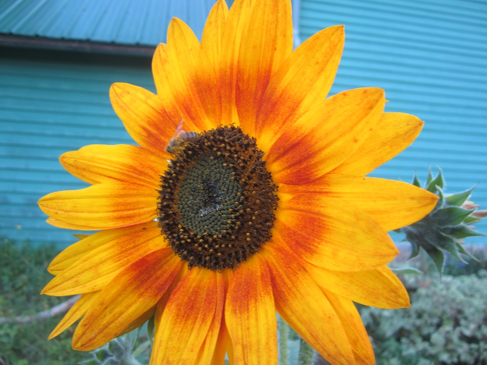 sunflower with a honey bee