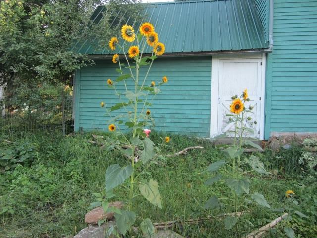 tall volunteer sunflowers