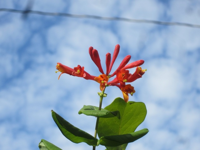 a late bloom on the honeysuckle vine reaches up into a pretty sky. But the hummingbirds have all left for southern regions.
