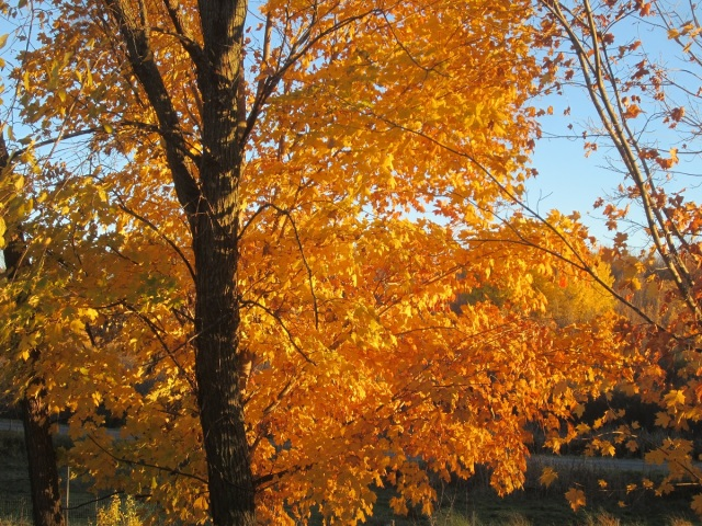 a small maple on the south side of the house made a breath-taking display this year.