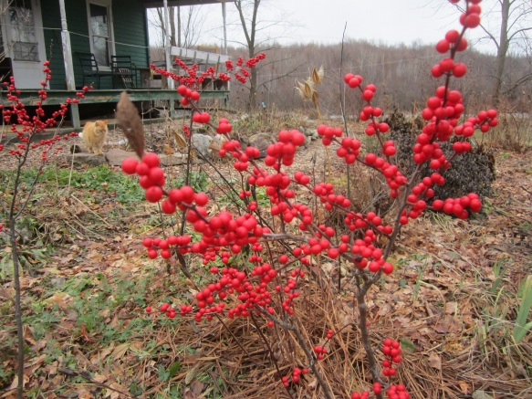 The winterberry bushes are doing OK in the front yard. I think they would prefer a wetter soil. Still, it gives a splash of color and good food for winter birds. And yes, there is Mr Fluff in the background!
