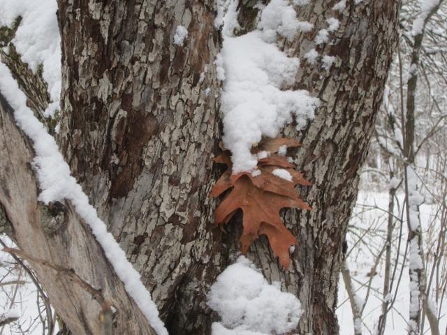 a garland of pretty oak leaves draped on an apple tree