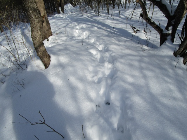 It was fun seeing how the deer use the trails I make!