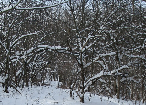 beautiful and peaceful winter woods