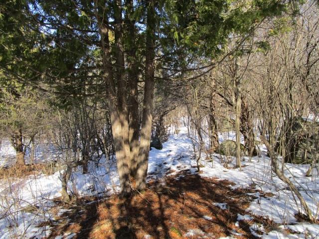 a trail that passes by a cedar tree.