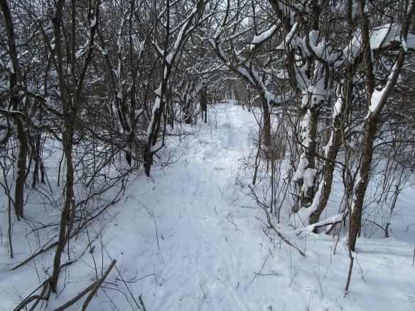 looking back on the trail I made through an old apple orchard surrounded by thickets of dogwood