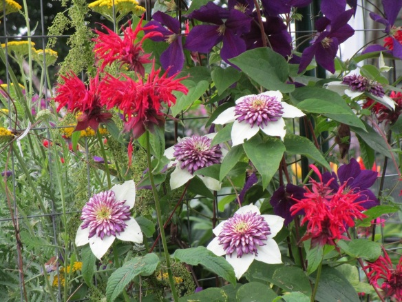 clematis and monarda